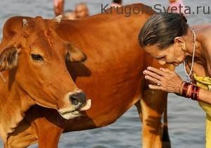 Корова в Индии-символ поклонения-кухня индии
