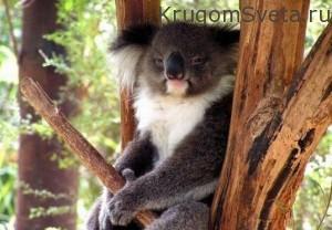 Мишка-Коала-Путешествие по Австралии