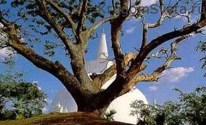 дерево Бо-Древний город Анурадхапура