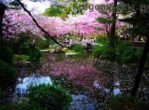 Страна Япония - цветущая весна