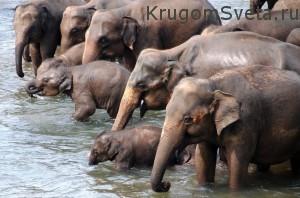 Курорты Шри-Ланки - в слоновьем питомнике