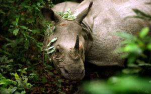 nepal-chitvan-nosorog