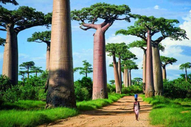 Мадагаскар — страна баобабов