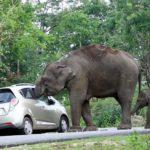 Слон напал на автомобиль с туристами в Индии
